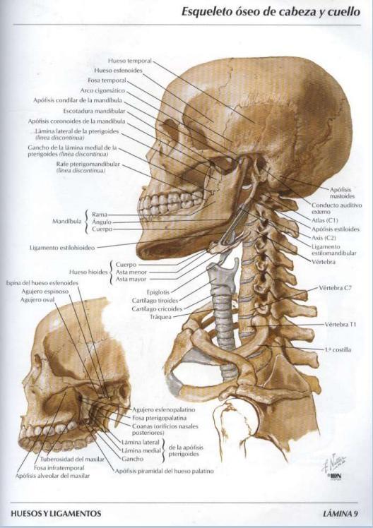 Netter anatomy online